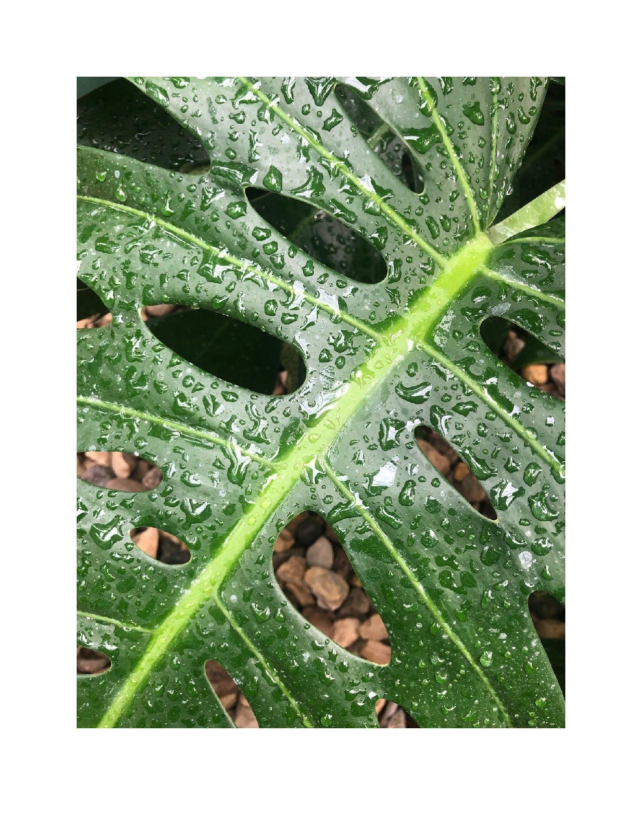 botanical cloe-up of monstera