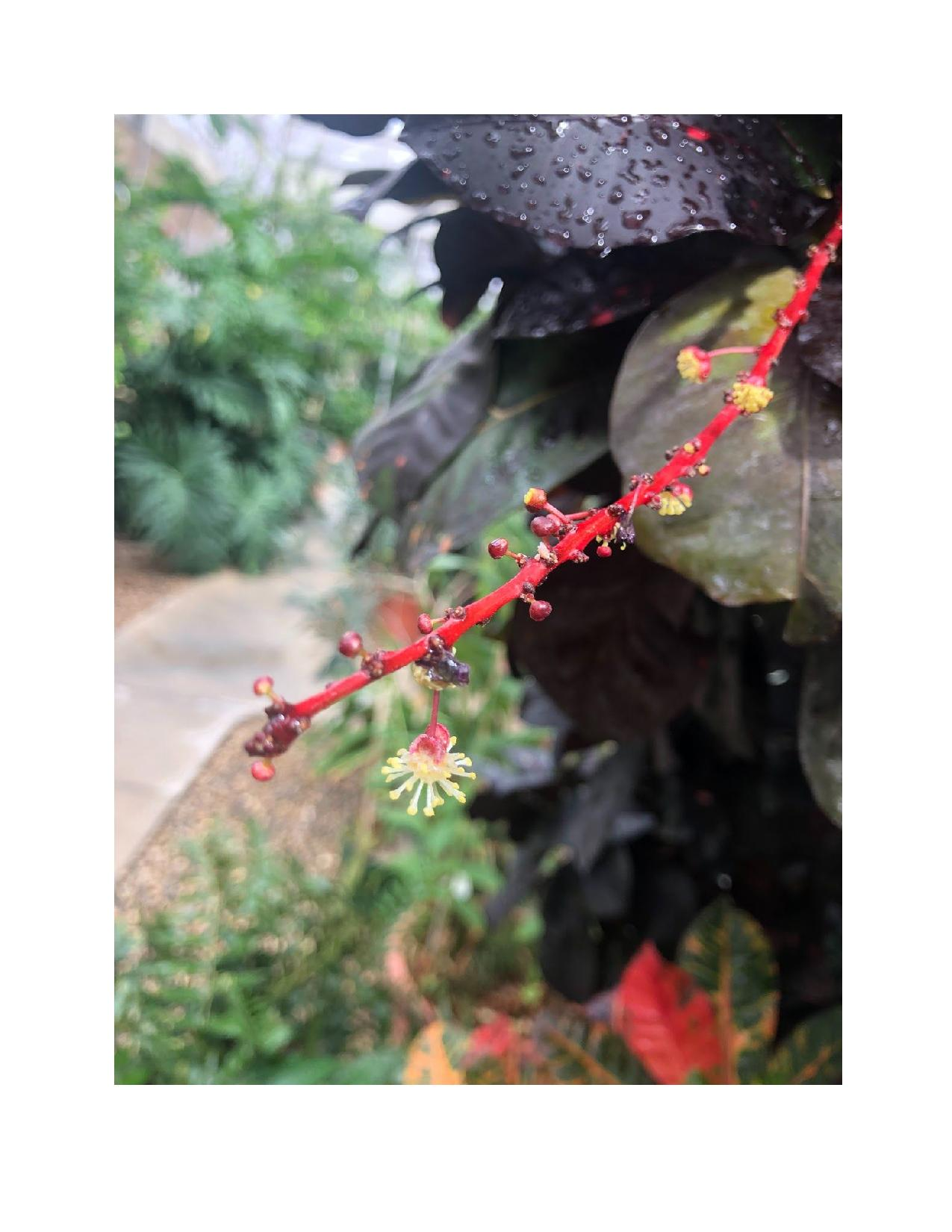 botanical close-up of tiny flowers with red stem
