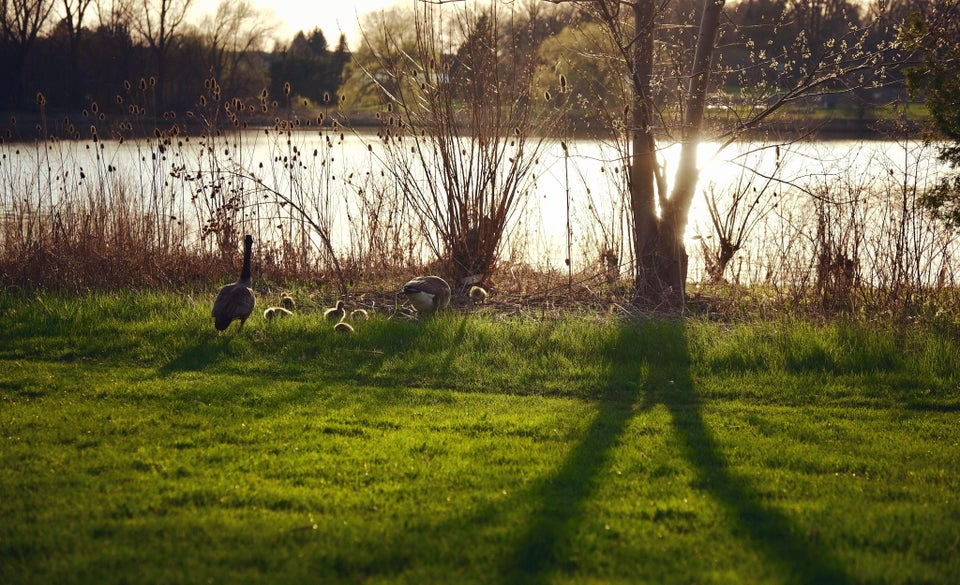 A family of geese in the sunny spring haze near the lake.
