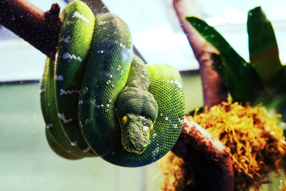 green python coiled on a branch